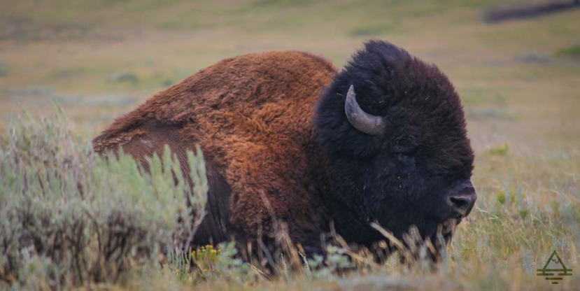 Spotting Buffalo in Yellowstone National Park