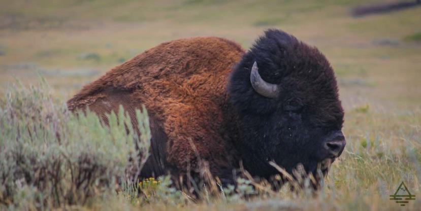 Spotting Buffalo in Yellowstone NationalPark